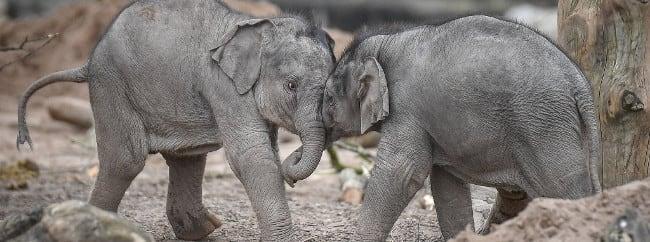 Chester Zoo Elephants