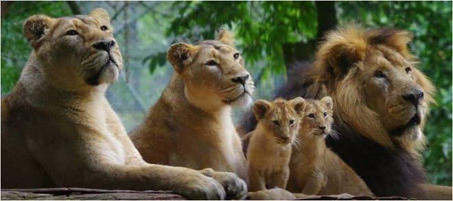 paignton zoo lions